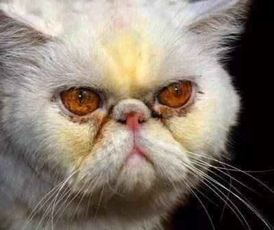 猫的泪痕重,多半是吃东西的缘故!