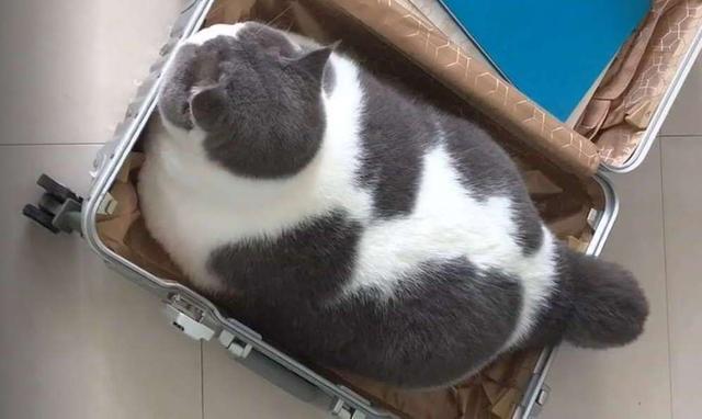 中国人养猫,和国外人养猫的区别,这区别让人惭愧