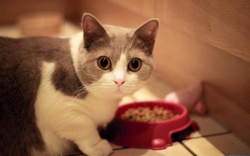 猫粮里的淀粉,比蛋白质更好