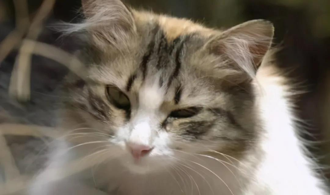 """猫咪有泪痕,记住""""三不吃、五多吃"""",跟泪痕说再见!"""