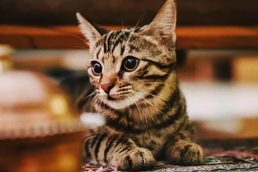 行业人建议:养猫,劝你养这几种寿命长的猫咪