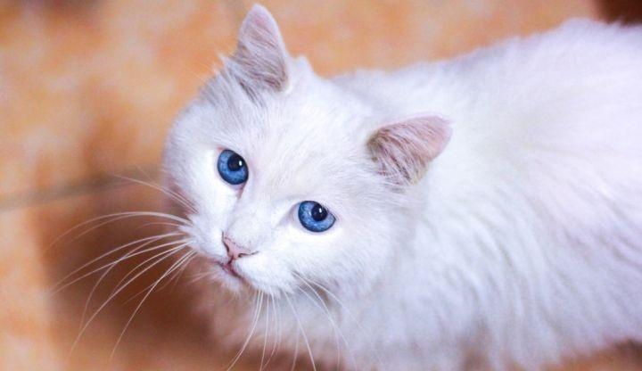 如何让猫咪的毛长得更好更亮更光滑?